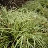 Carex_Morrowi2300