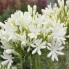 Agapanthus Getty White