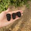 ph_Rubus_Prime-Ark_ 45