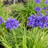 Agapanthus_Ever_Midnight