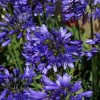 Agapanthus_Ever_Sapphire
