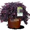 Loropetalum_Purple_Pixie